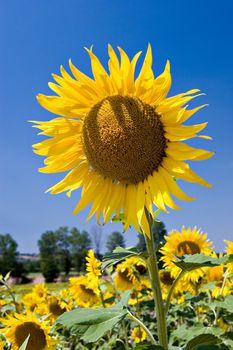 Sunflower on deep blue sky