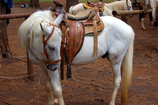 White Horse and Saddle in a Mexican Forest