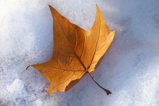 maple leaf in wintertime
