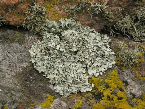 Background on which the lichen growing on a granite is represented