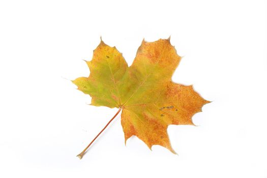 Autumn maple leave isolated on white background for design artworks