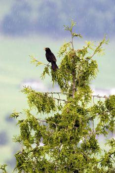 Bird singing on rainy day
