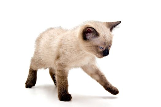 Small kitten looking annoyed, walking on white background.