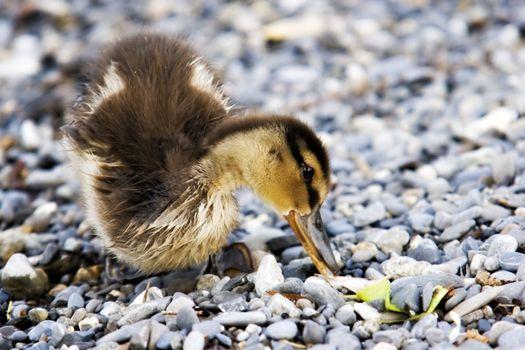 Wet baby duck eating on gravy background