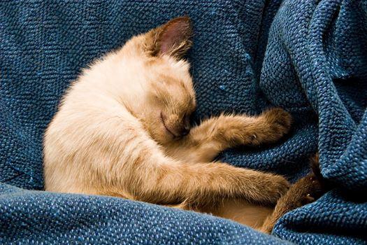 Baby Siamese kitten, sleeping.