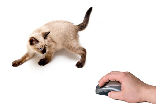 Baby siamese kitten, on a funny pose, playing and looking to computer mouse on hand.