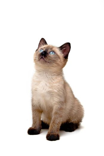 Baby siamese kitten, sitting down, looking curious.