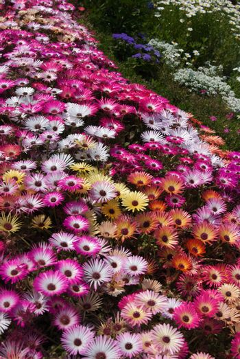 Bed of Livingston Daises spread pink, white, yellow blooms top to bottom of image.