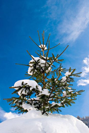 Snow covered pinetree against blue sky