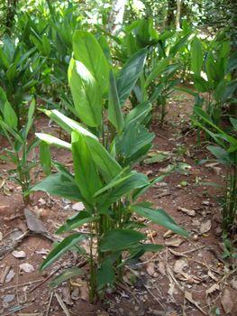tobacco plant in cultivation in Zanzibar