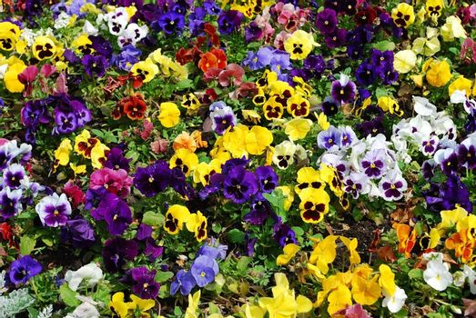 Colorful flower carpet in a park - pansies.