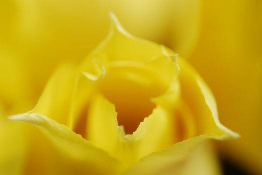 Yellow tulips 17