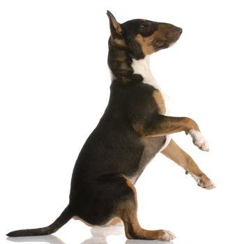 playful bull terrier puppy