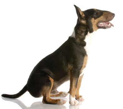 happy bull terrier puppy