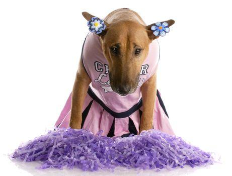 bull terrier dressed as a cheerleader