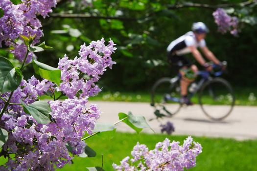close up of Lilacs with a bicylist in the background