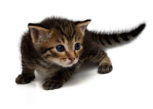 Little dear kitten on a white background.