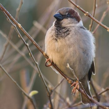 Male house sparrow balancing on small branches in winter morningsun