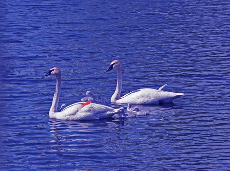 Swan family on lake