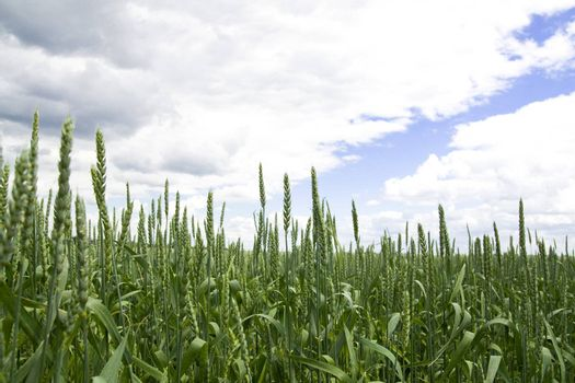 Green wheat in the field with cloudy blue sky