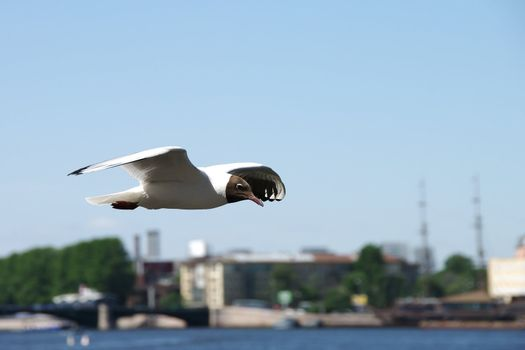 Seagull in a blue sky in the city