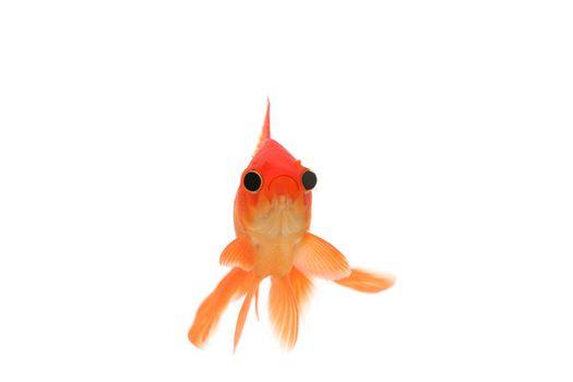 Funny goldfish with big eyes