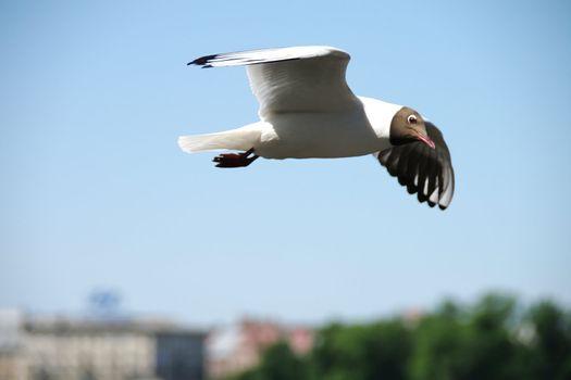 Seagull in a blue sky
