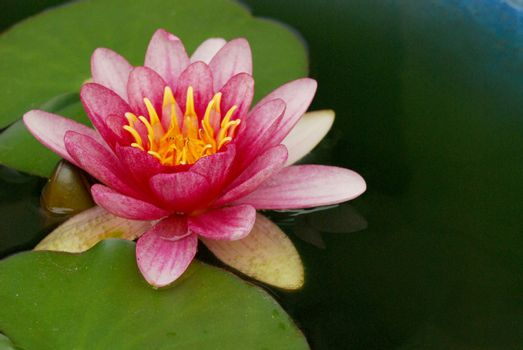 Serene pink lotus on pond water