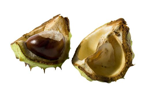 Chestnut with its green cupule