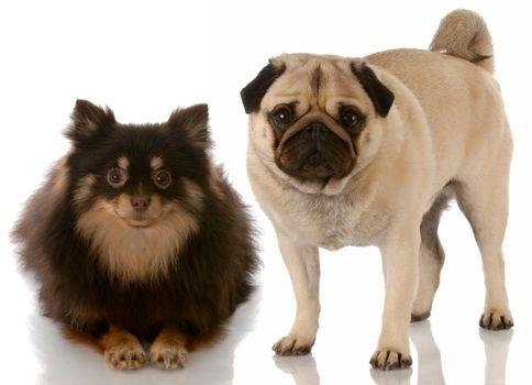 dog friends - pomeranian and pug