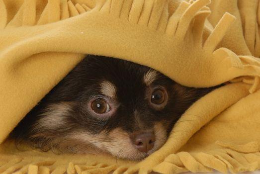 puppy hiding under blanket