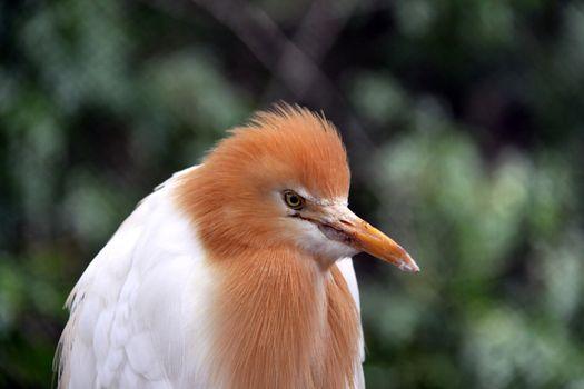 Eastern Cattle Egret in Breeding Season Plumage - ardea ibis cor