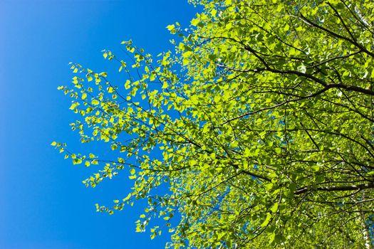 Birch tree at spring