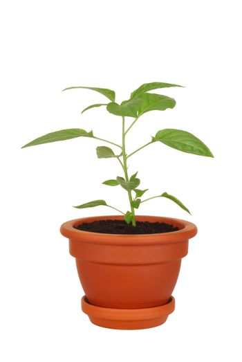 Young green plant in a pot isolated on white