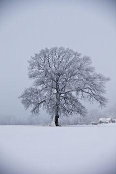 Oak tree at wintertime