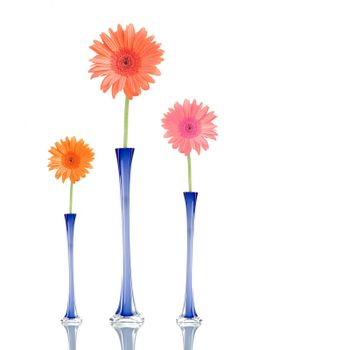 Gerber daisies of different colors in blue jars, isolated on white background.