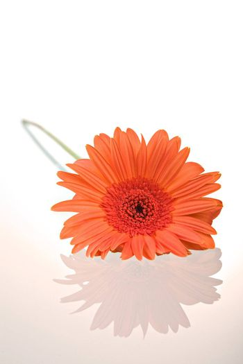 Gerber daisy flower with reflection isolated on white background.