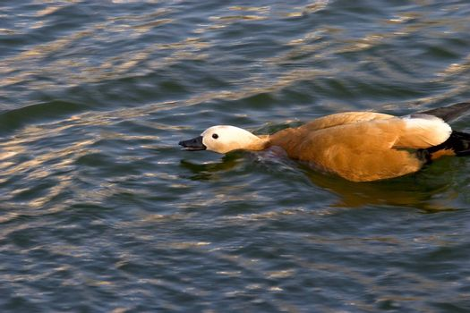 Wild and agression duck glide in pond's water. Russia.