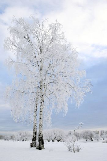 Snow birch in the city park. Winter time, Russia.
