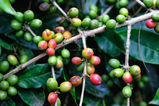 Coffee Grows