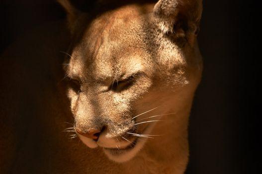 Puma in a dark cage in a zoological garden
