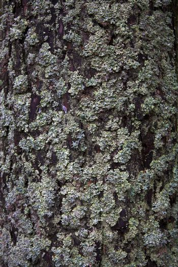 The pine bark covered by a moss and a lichen