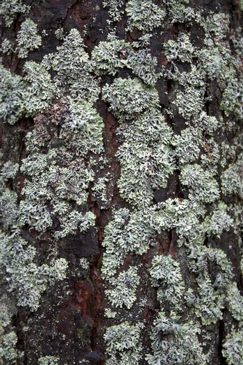 The pine bark covered by a moss and a lichen.