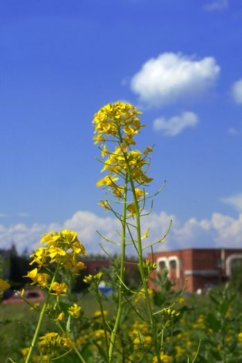 Yellow field flowers and green grass on a background of the dark blue sky with clouds