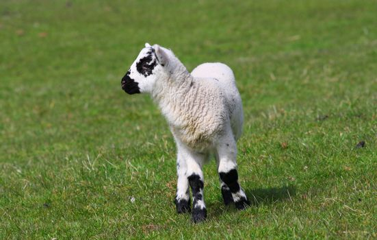 New born lamb black and white Wales UK