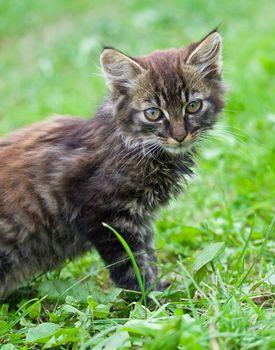 close-up gray kitten against a green grass
