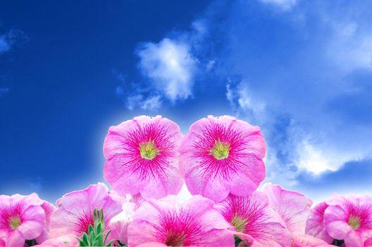 Pink Bright Petunias In Blue Sky