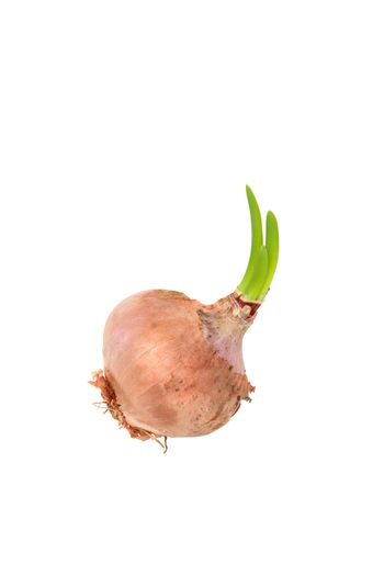 Germinating onion isolated on white
