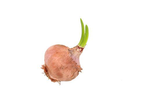 Germinating onion on white background