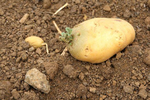 Potato germinating